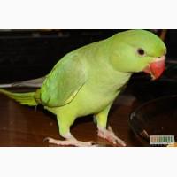 Купим ожерелового попугая