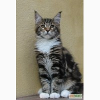 Одесский питомник Hadji-Bey-Coon предлагает котят МЕЙН-КУНОВ