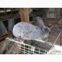 Кролики Серебристые, Калифорнийские, Белый панон
