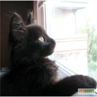 Чёрная ангора, котёнок, 2 месяца (мальчик)