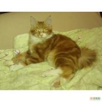 Курильский бобтейл, клубные котята