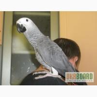 Африканский серый попугай жако