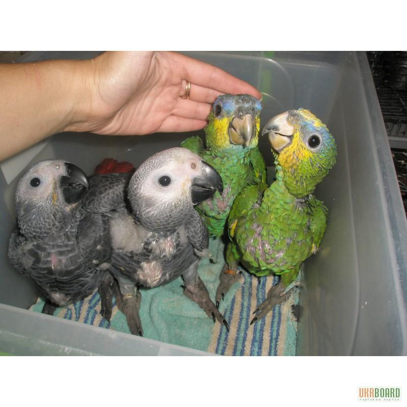 Где можно купить попугая жако