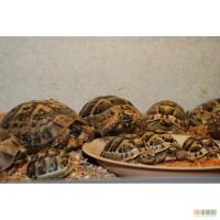 Ручные черепахи