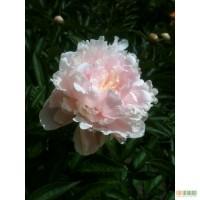 Продам рассаду: хризантемы, пионы, канны, ирисы, лилии, розы, гортензии, фиалки