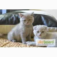 Шотландские вислоухие котята (Скоттиш-фолд и Скоттиш-страйт)