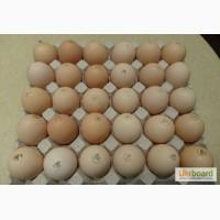 Яйця інкубаційні курей бройлерів КОББ-500