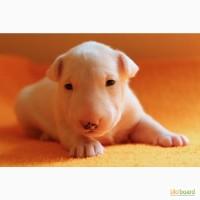 Продам щенков бультерьера