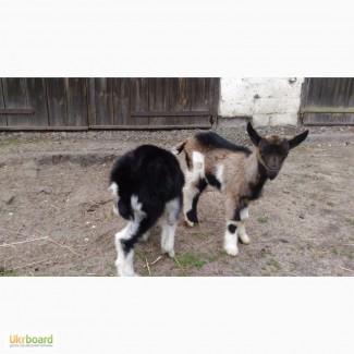 Козочка породистая коза
