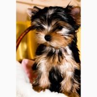 Кукольный щенок ANGEL STAR от очень красивой пары
