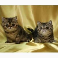 Экзотические короткошерстные котята, мальчики