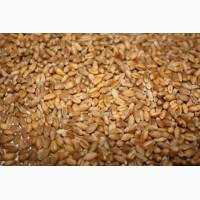 Бразильская пшеница CIF