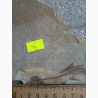 Продам окаменелый отпечаток рыбы