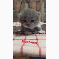 Продаю милых британских котят