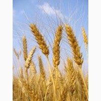 Сорт пшеницы Гренни