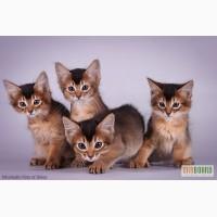 Сомалийские котята. Фото, видео