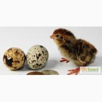 Яйца, цыплята перепелов