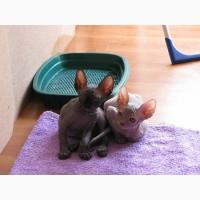 Продам очаровательных котят породы Канадский сфинкс