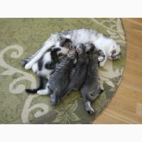 Шотландски котята, продажа