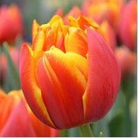 Продаются луковицы тюльпанов и ирисов на выгонку на 8 марта, Мелитополь