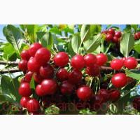 Продам 2- х летние саженцы Вишнии много других растений (опт от 1000 грн)