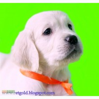 Золотистый ретривер, щенки лучшей семейной собаки на сайте + видео