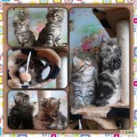 Cибирские котята от Чемпионов Питомник