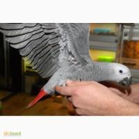 Ручний папуга Жако 2 роки хлопчик