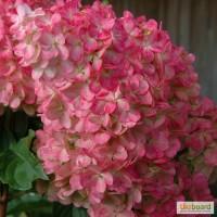 Гортензия (Hydrangea) от 110 грн