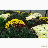 Продам корни хризантем