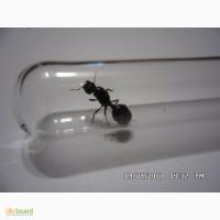 Мессор-структор или муравей жнец(колония муравьев)