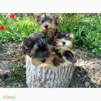 Продам щенков йоркширского терьера с родословной (КСУ)