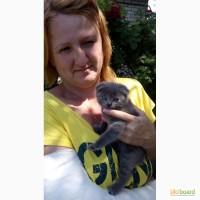 Продам котят (шотландские вислоухие)