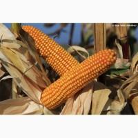 Гібрид кукурудзи Богатир (KWS)