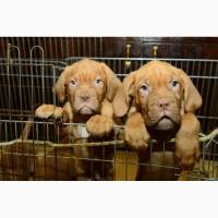Продаются щенки Бордоского дога