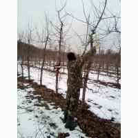 Професійна обрізка плодових дерев