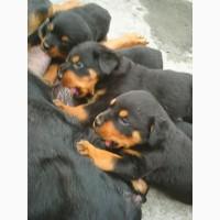 Продаются щенки ротвейлера девочки и мальчики
