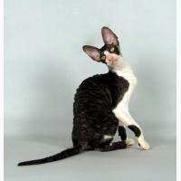 Красавчик котик, корниш рекс