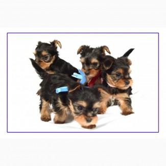 Продам щенков йоркширского терьера