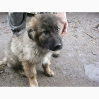 Продам щенка кавказкой овчарки