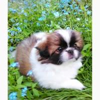 Продам щенка королевского пекинеса
