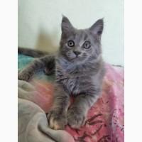 Продам котенка мейн-куна эксклюзивного окраса элитным хозяевам