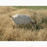 Продаються недорого дійні кози