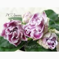 Фиалки сортовые, детка РС-Герцогиня - огромные красивые цветы