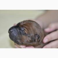 Thai Ridgebck dog. Предлагаю к бронированию щенков Тайского Риджбека