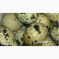 Продам суточный молодняк и инкубационное яйцо перепелов