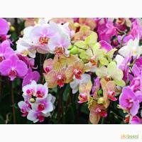 Орхидеи, фаленопсис, черная орхидея, мильтония, камбрии под заказ