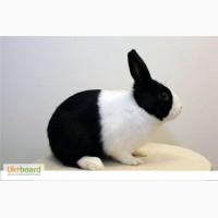 Кролики карликовые 50 грн. Распродажа