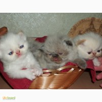 Продажа гималайских котят