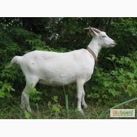 Продам дойных коз козлят